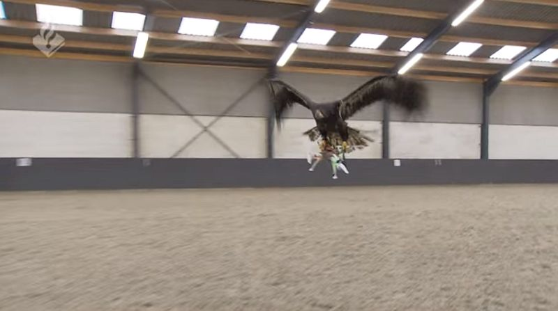 Dutch Police Training Eagles to Take Down Drones