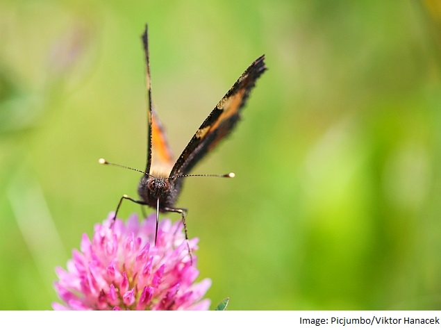 Butterfly-Inspired Design Could Make Solar Panels More Efficient