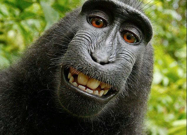 Monkey Selfie Cannot Be Copyrighted: US Regulator
