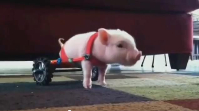 Disabled piglet using wheelchair becomes Internet sensation