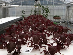 Silicon to Spinach: Japan Tech Helps Farmers Cope With Climate Shifts