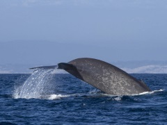 Nasa to Power Online Tool to Help Protect Endangered Blue Whales